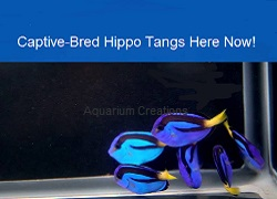 Picture of Captive-Bred Blue Hippo Tangs