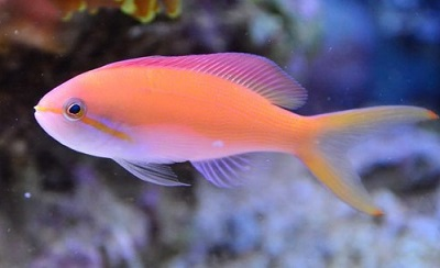Picture of Carberryi Anthias