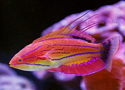 Picture of Carpenter's fairy wrasse, Paracheilinus carpenteri
