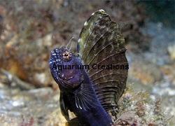 Picture of Caribbean Sailfin Blenny, Emblemaria pandionis