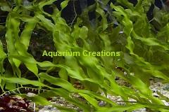 Sea Grapes Racemosa Caulerpa  Marine Macro Algae Plant Reef Refugium