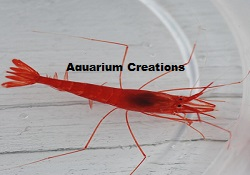 Picture of Red Cave Shrimp, Barbouria cubensis