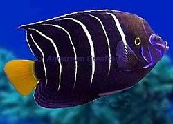 Picture of Chrysurus Angelfish