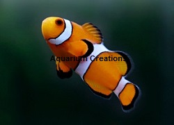 Picture of Captive Bred Ocellaris Clownfish