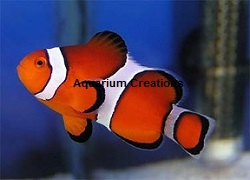 Picture of Ocellaris Clownfish