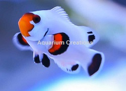 Picture of Platinum Clownfish
