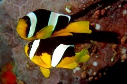 Saltwater Clownfish for Sale
