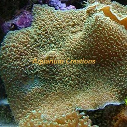 Picture of the Elephant Ear Mushroom Coral Colored, Rhodactis mussoides