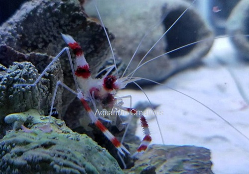 Picture of Coral Banded Shrimp, Stenopus hispidus