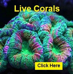 Aquarium Creations Online Store sells Quality Live Coral at excellent prices.