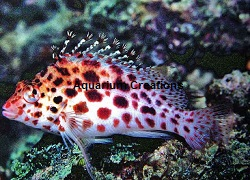 Picture of Coral Hawkfish