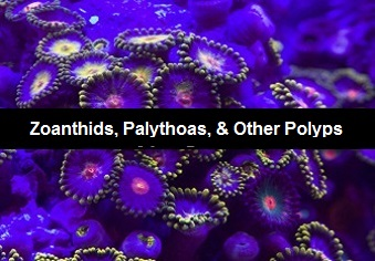 Click for Zoanthid Polyps and many more Polyping Corals