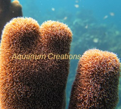 Picture of Purple Corky Sea Finger