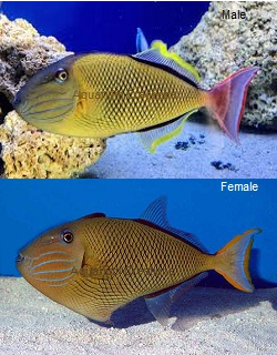 Picture of Crosshatch Triggerfish, Xanthichthys mento