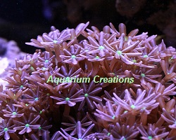 Picture of Aquacultured Daisy Polyp Coral