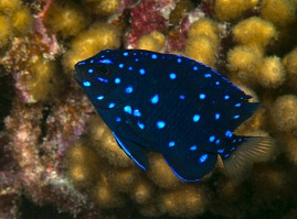Damselfish such as the Jewel Damsel, Electric Blue and Yellow Tail Damselfish and many more for the Home Aquarium