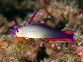 Dartfish Species in the Marine Aquarium