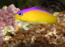 Picture of Purple Striped Dottyback