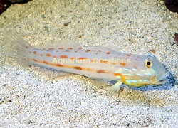 Picture of Diamond Watchman Goby