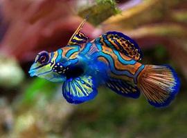 Dragonete Species are slow-moving Marine Aquarium Fish.