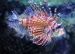 Picture of Dwarf Lionfish