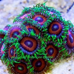 Picture of Eagle Eye Zoanthid Polyps
