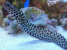 Picture of Saltwater Aquarium Eel