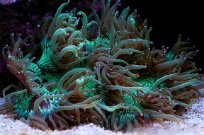 Catalaphyllia jardinei for Aquarium elegance