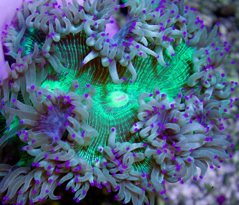 Flaming dendrophyllia heads for Aquarium elegance