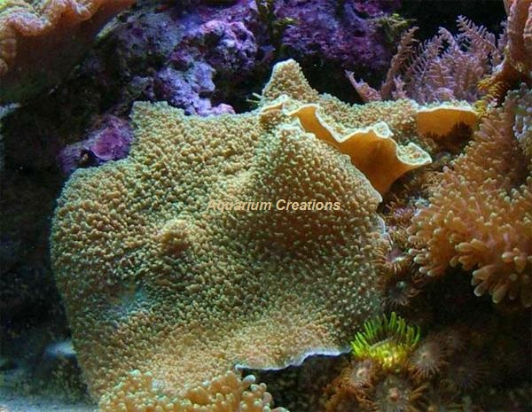 Picture of Colored Elephant Ear Mushroom Coral