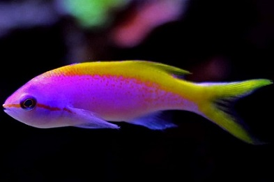 Picture of Evansi Anthias