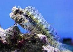 Picture of a Sailfin / Algae Blenny, Salarias fasciatus