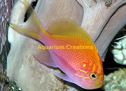 Shop Sunburst Anthias also called Fathead Anthias at Aquariumcreationsonline.net
