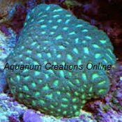 Picture of Green Pineapple Brain Coral, Favia
