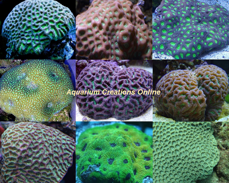 Picture of The Favia Brain Coral Assortment
