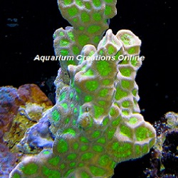Picture of Branching Favites Coral, Favites complanata