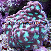 Picture of Favites Brain Coral, Australia