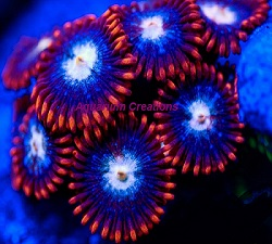 Picture of Aquacultured Fire and Ice Zoanthids