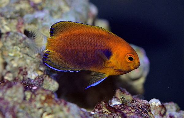 Picture of Fisher's Angelfish, Centropyge fisheri