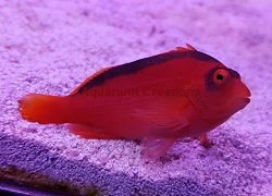 Picture of Flame Hawkfish