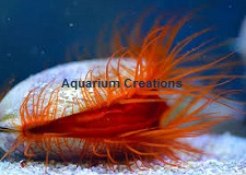 Picture of Flame Scallop