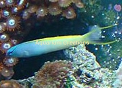 Picture of Forktail Blenny, Meiacanthus atrodorsalis