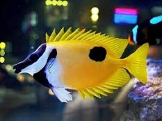 Marine Foxface species , Rabbitfish species