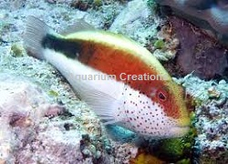 Picture of Freckled Hawkfish