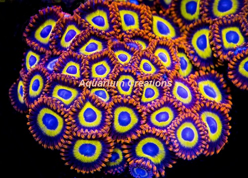 Picture of Fruit Loops Zoanthid Polyps