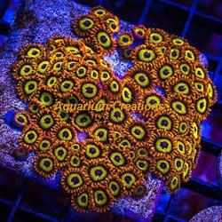 Picture of Aquacultured Fruit Loops Zoanthid Polyps