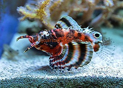 Picture of Fu ManChu Lionfish