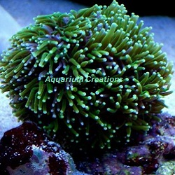 Picture of Aquacultured Metallic Green Galaxea Coral