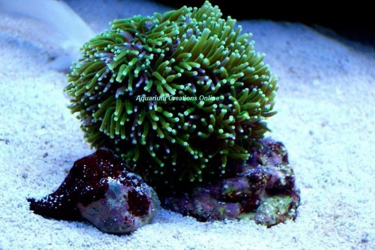 Picture of Metallic Green Galaxea Coral, Galaxea fascicularis, Aquacultured