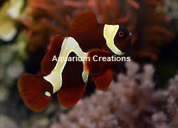 Picture of Gold Flake Maroon Clownfish